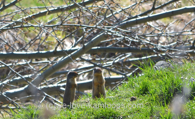These two gophers were among many scurrying about the area.