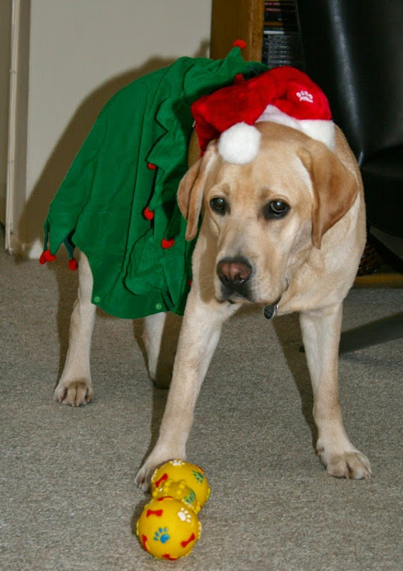 Santa's helper Labrador elf
