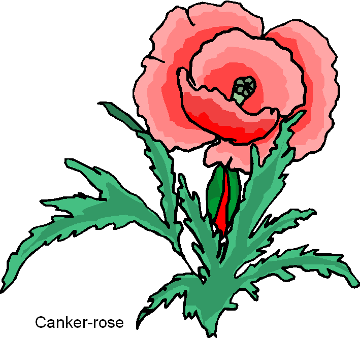 Beautiful Canker Rose Free Clipart