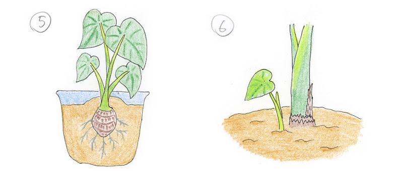 5.成長 6.長側芽