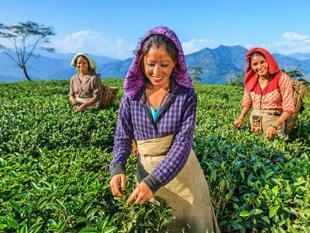 Darjeeling tea production may get hampered by Gorkhaland Movement