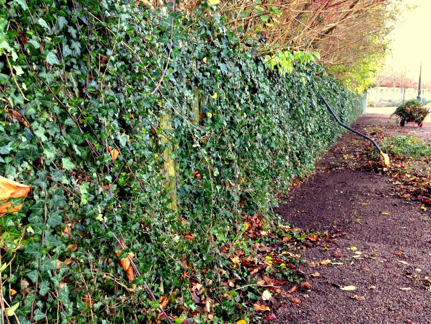 Trädgårdstid: murgrönestaket