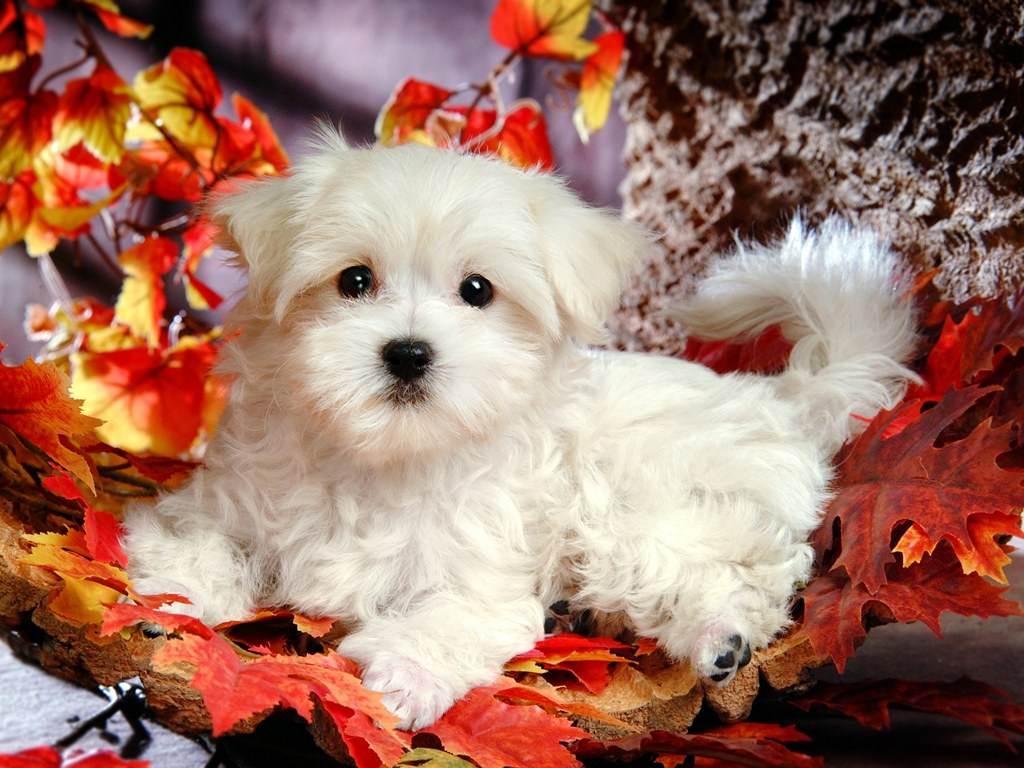 Cute White Fluffy Puppies