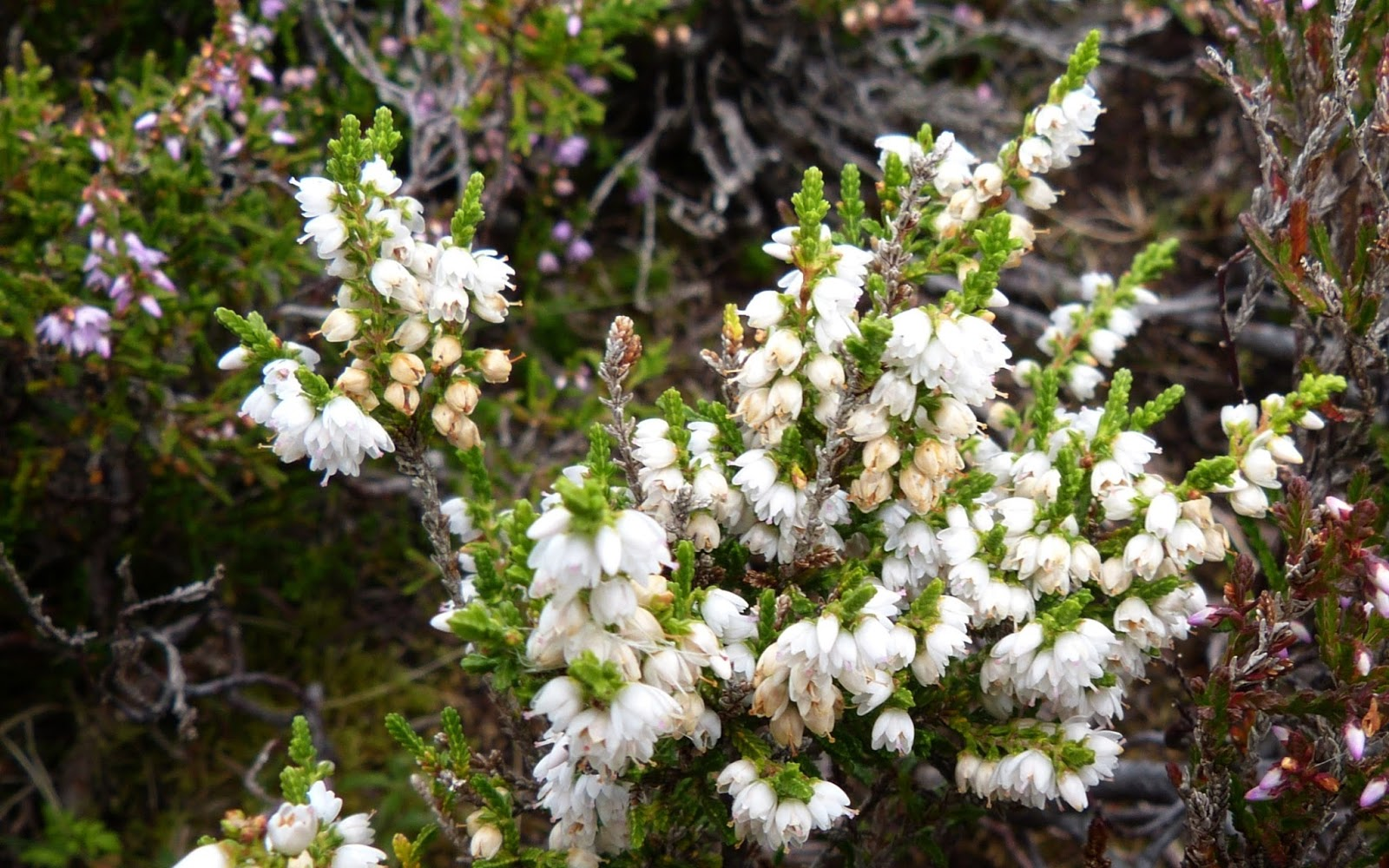 white heather flower meaning, Natural flower