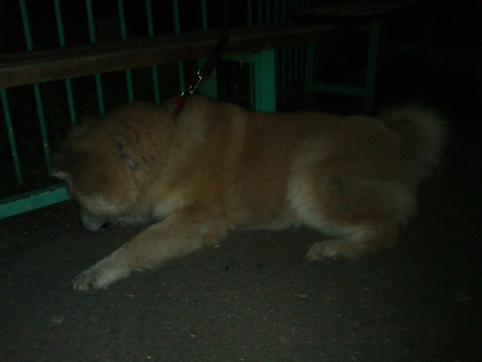 Akita-Inu dog named Grof