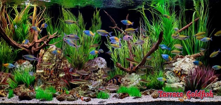 La acuariofilia for Lista de peces tropicales para acuarios