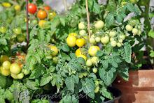Når kan tomatene plantes ut?
