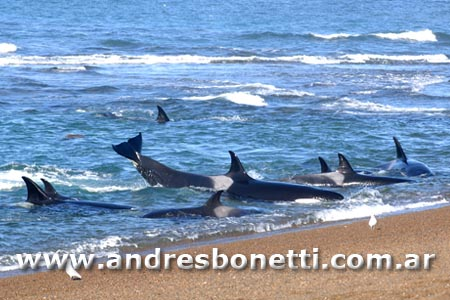 Orcas de Península Valdés - Killer Whale of Peninsula Valdes - Patagonia - Andrés Bonetti