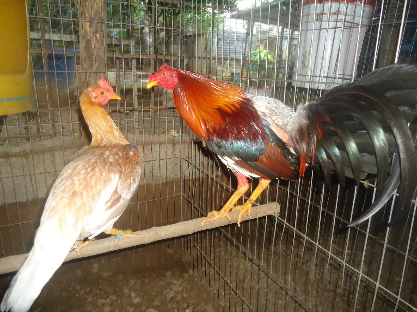 Fotos de gallos de pelea en venezuela 53