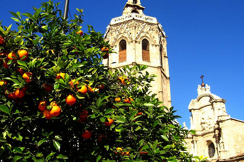 Probably the most widely planted tree in the city of valencia is the