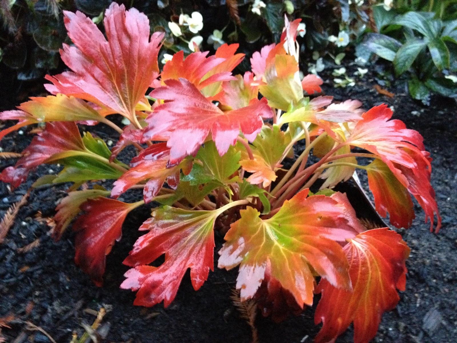 Plants of the galicic garden mukdenia rossii crimson fans