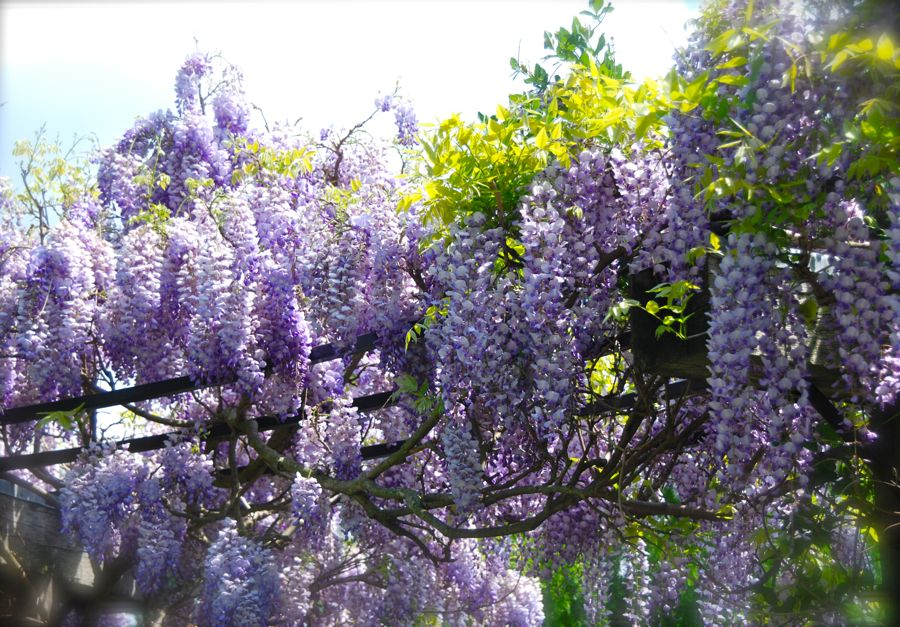 Wisteria sinensis 'Amethyst' on the pergola at the bottom of the Gravel garden stairs.