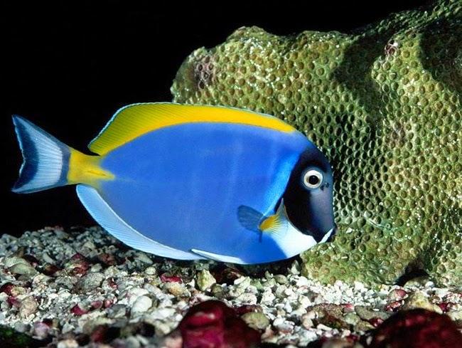 أجمل الأسماك الاستوائية الملونة   - صفحة 4 Colorful-tropical-fishes-24