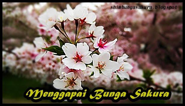 Menggapai Bunga Sakura
