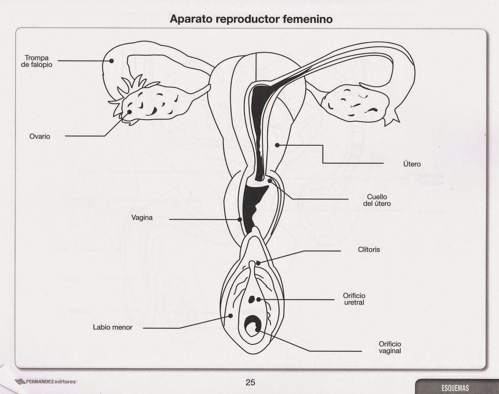 Atractivo La Imagen Del Diagrama De Sistema Reproductor Femenino ...
