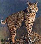 I like bobcats