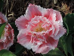 La tulipe frangée