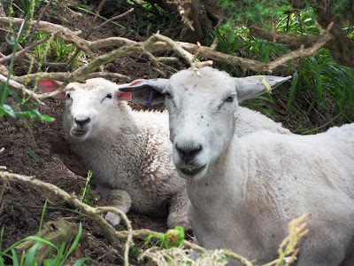 Sheep hiding on a North Devon cliff top