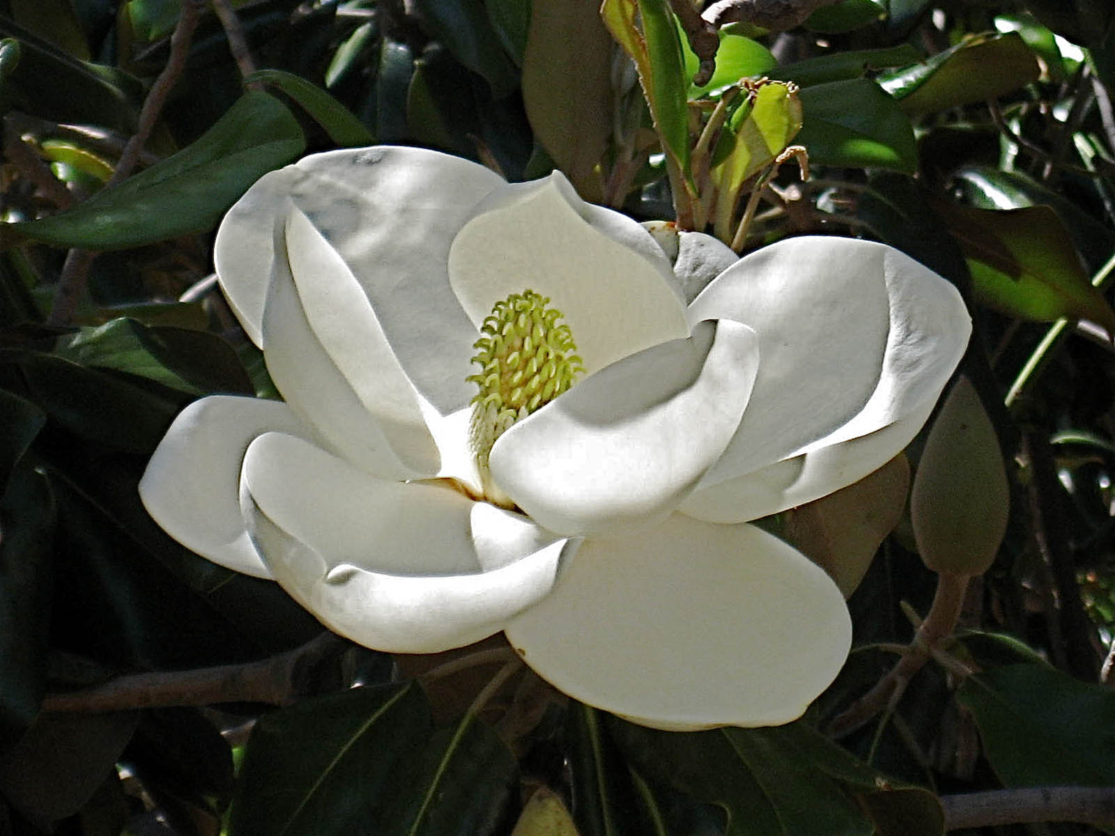Magnolia Flower Black And White Magnolia blossom