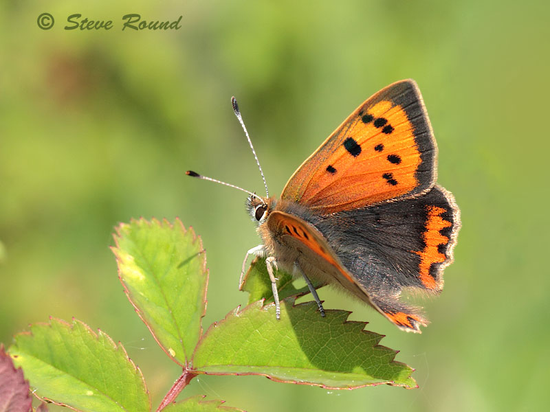 small copper, butterfly, butterflies, nature, wildlife