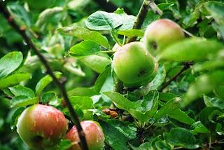 Asturias, manzano