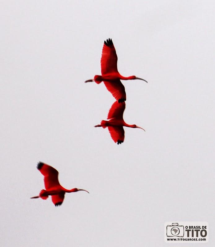 Guarás voam na ilha de Maiandeua (Algodoal), no Pará