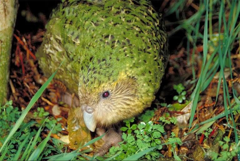Kakapo Wallpaper Kakapo (Strigops habro...