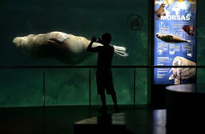Morsa en acuario