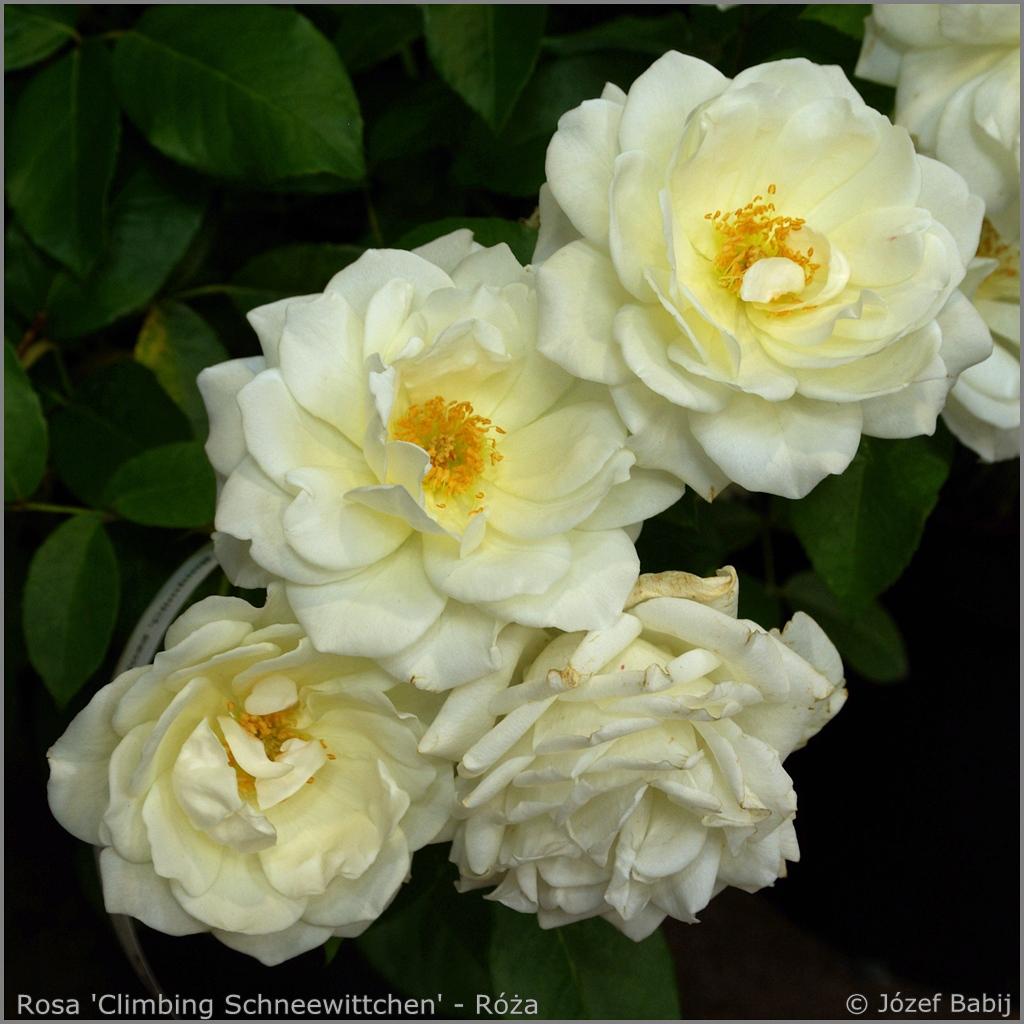 Rosa 'Climbing Schneewittchen' - Róża pnąca 'Climbing Schneewittchen'