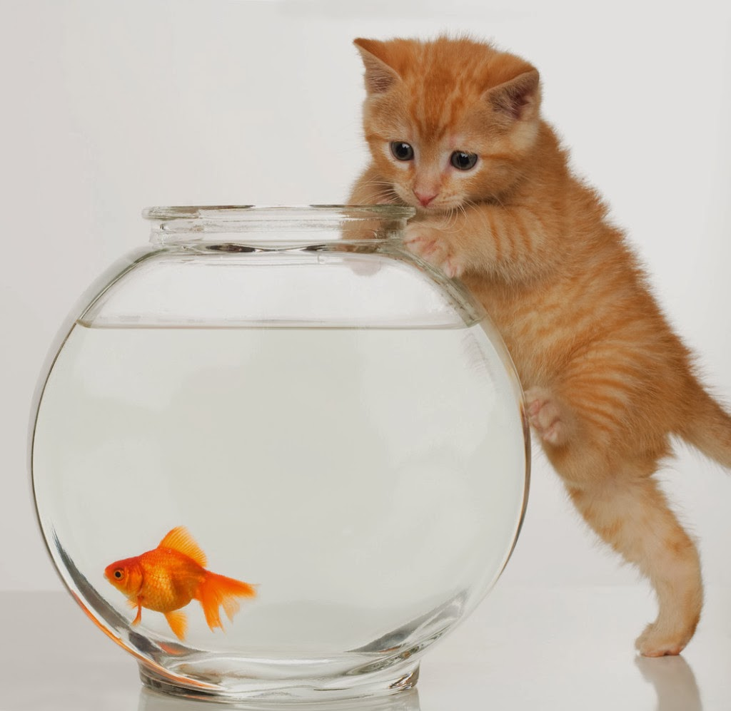 Kittens look at the golden fish wallpaper beautiful for Fish video for cats