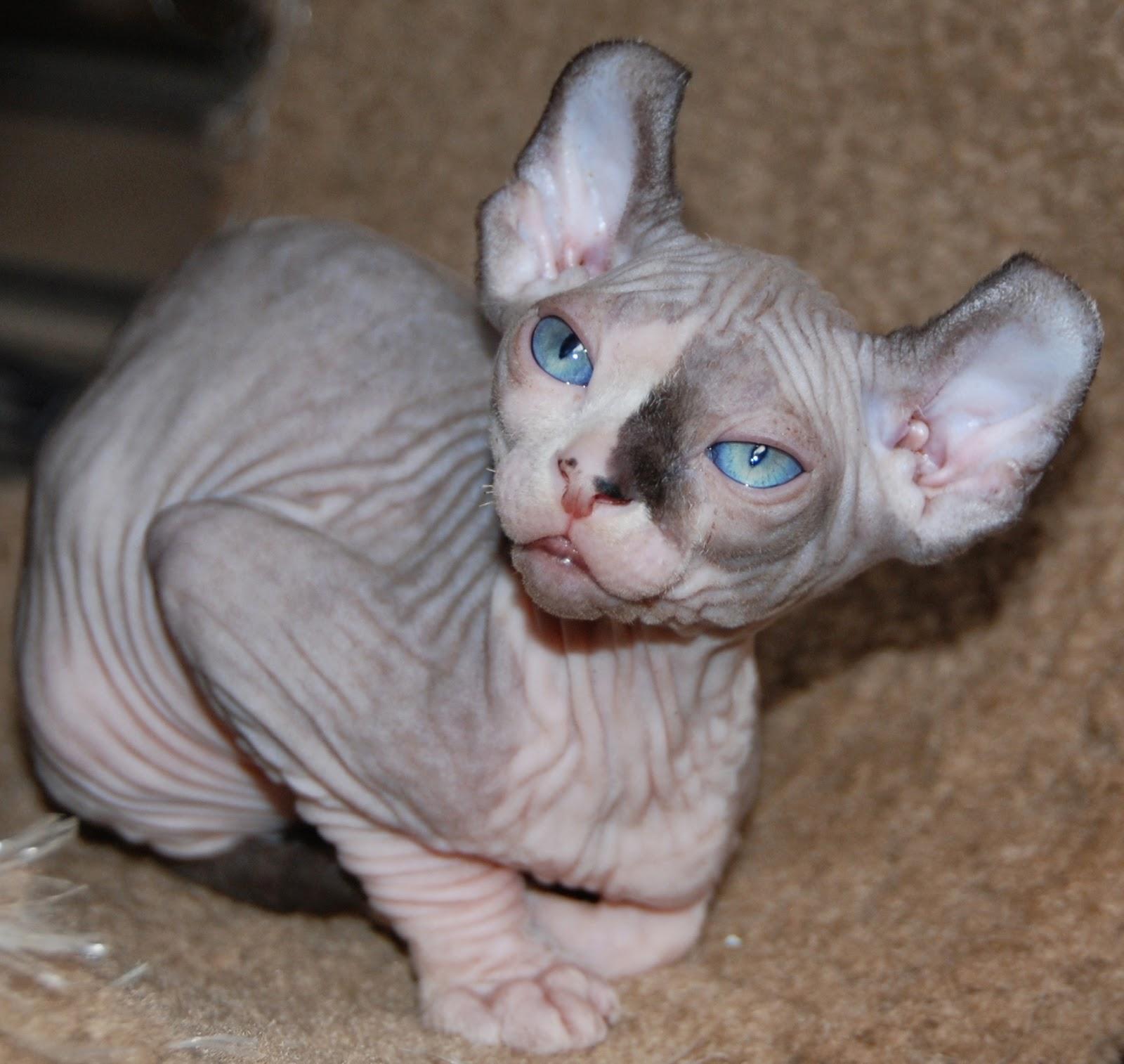Sphynx Cat Kitten Care