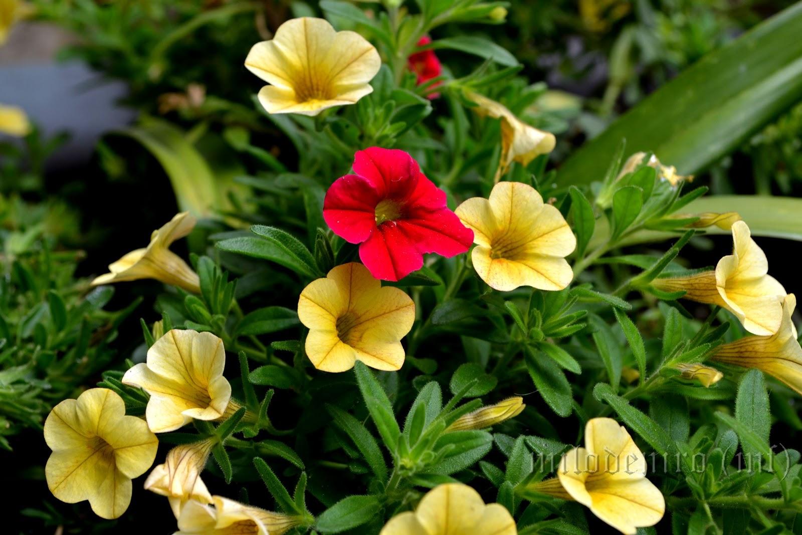 Piccoli fiori estivi for Fiori estivi perenni