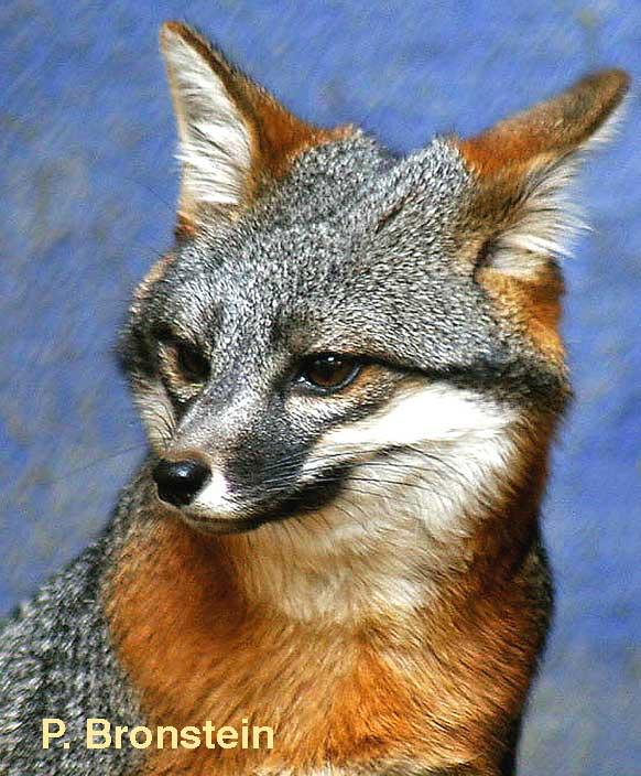 Island gray fox pup