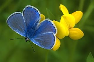 Parar ampliar Polyommatus escheri (Azul de Escher) hacer clic
