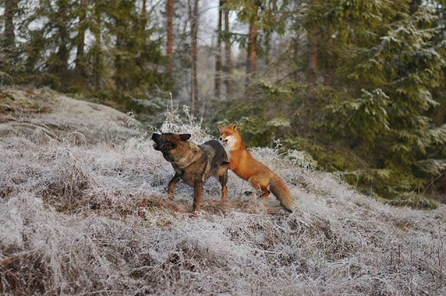 Dog and wild fox are best friends (10 pics), a dog makes friend with wild fox in Norway, fox and hound, animal friends, sable german shepherd dog, german shepherd pics, fox pics