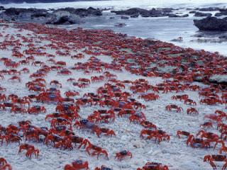 Melaka Planetarium Adventure Science Centre: Did You Know :: Red Crab of Christmas Island