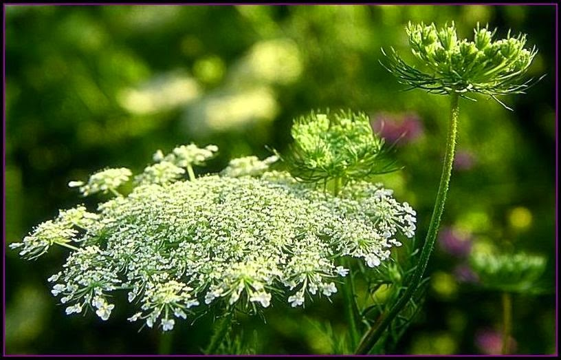 Queen Anne S Lace Jelly