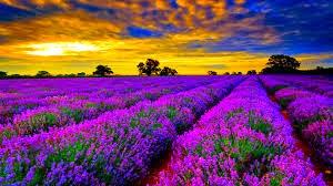 Cinta Lavender