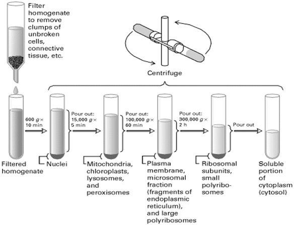 differential centrifugation is a process that