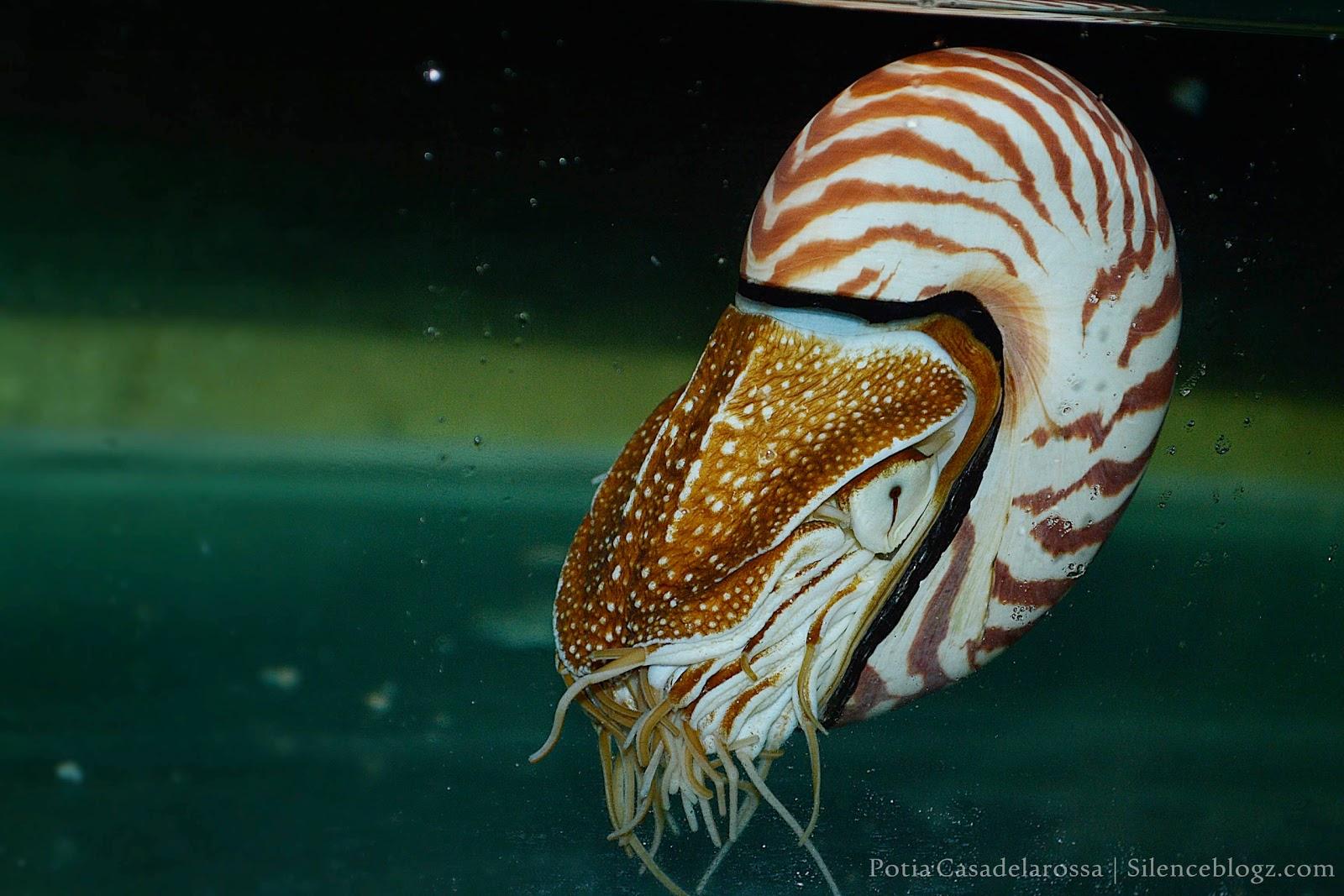 Fosil Hidup, Pearly Nautilus Hidup Jutaan Tahun