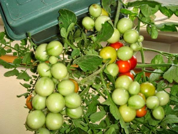 Bir serada domatesin üst sargısı: ne zaman ve hangi gübreleme için