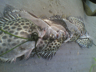 ikan kiper / kitang