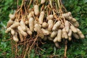 teknis cara budidaya kacang tanah organik dengan produk organik NASA