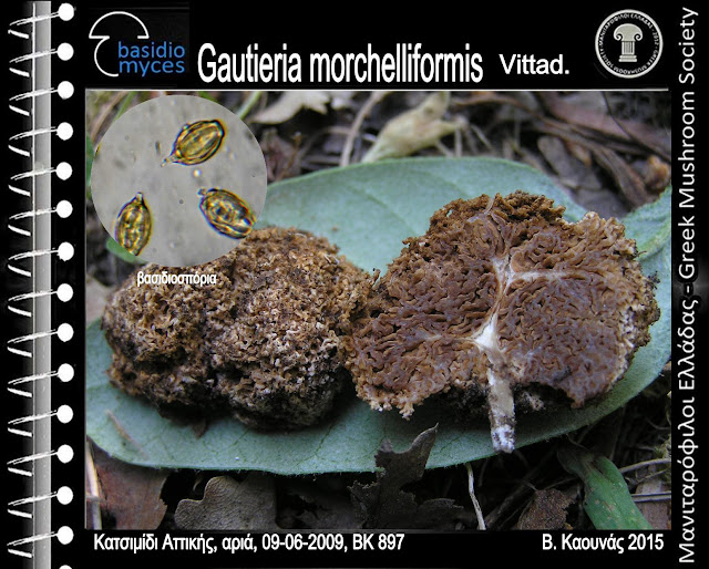 Gautieria morchelliformis Vittad.