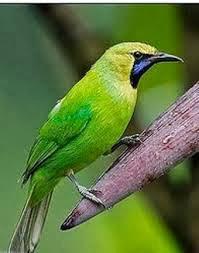 Foto Burung Cucak Ijo Cucak Hijau