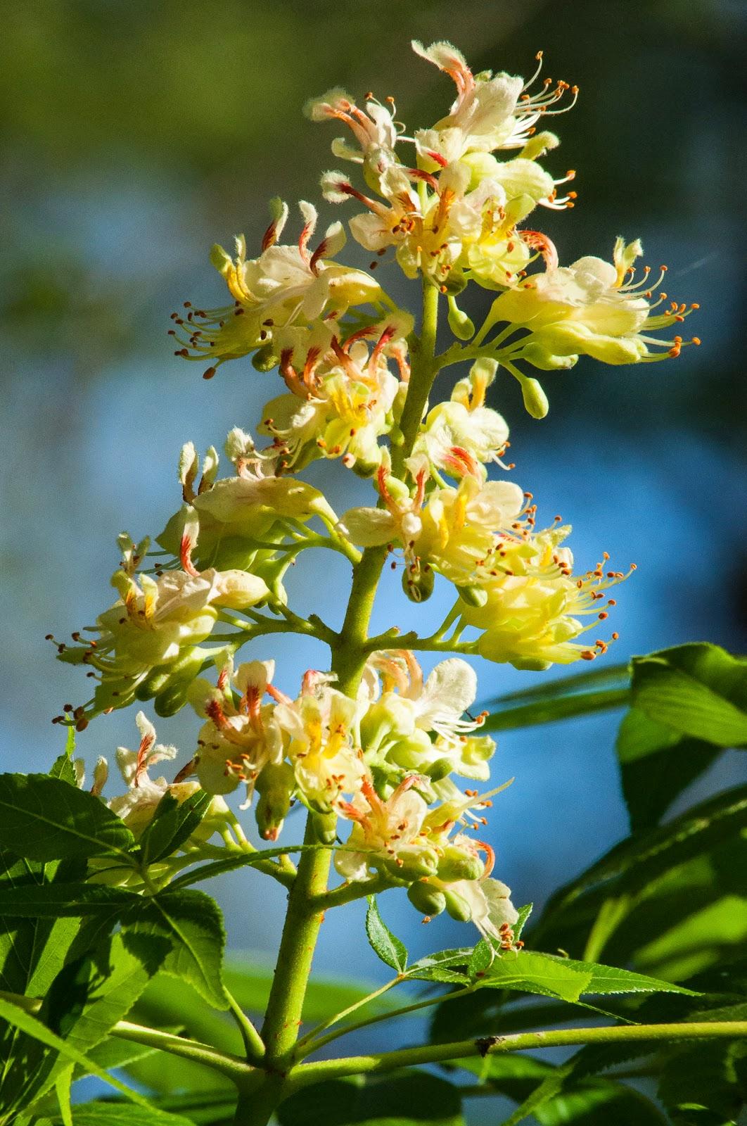 Buckeye Blossom, Texas Buckeye Trail