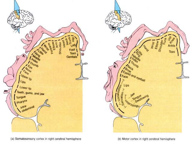 Brain Homunculus1