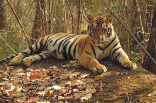Tiger Conservation, Habitat loss, Poaching, Government, Project Tiger