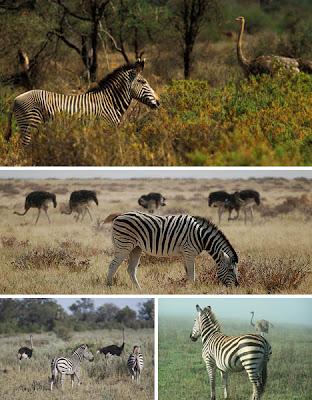 Foto Simbiosis mutualisme Zebra dan Burung Unta