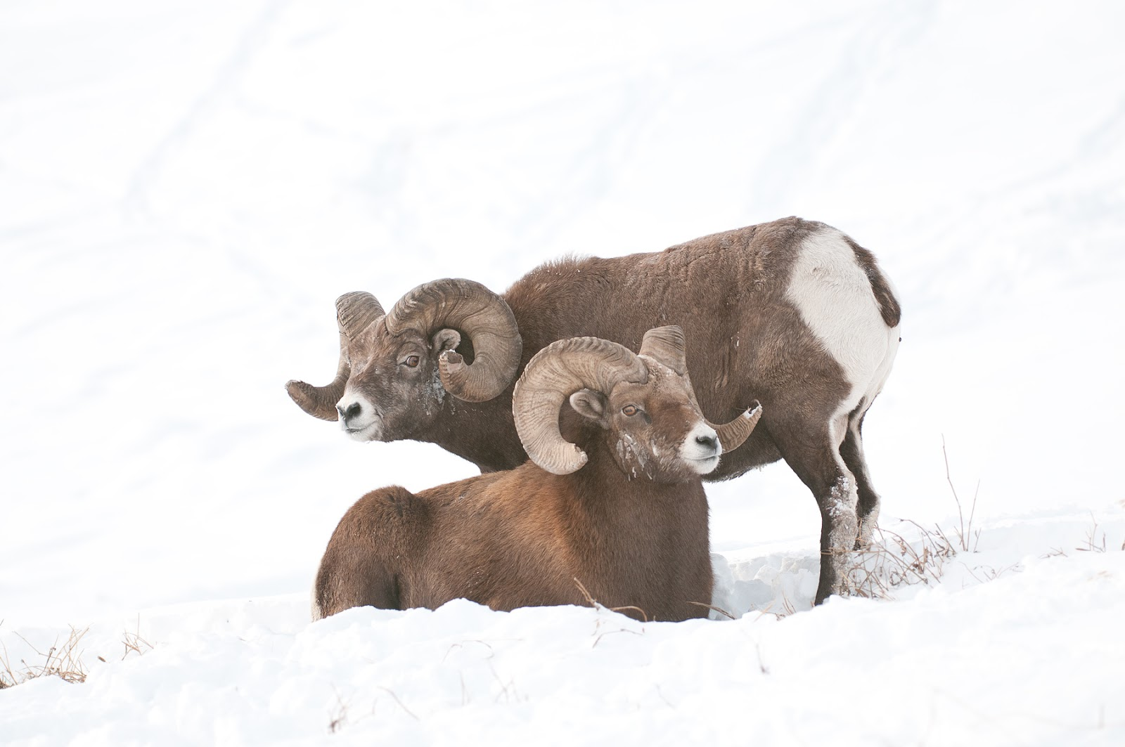 Animals of the world: Big Horn Sheep